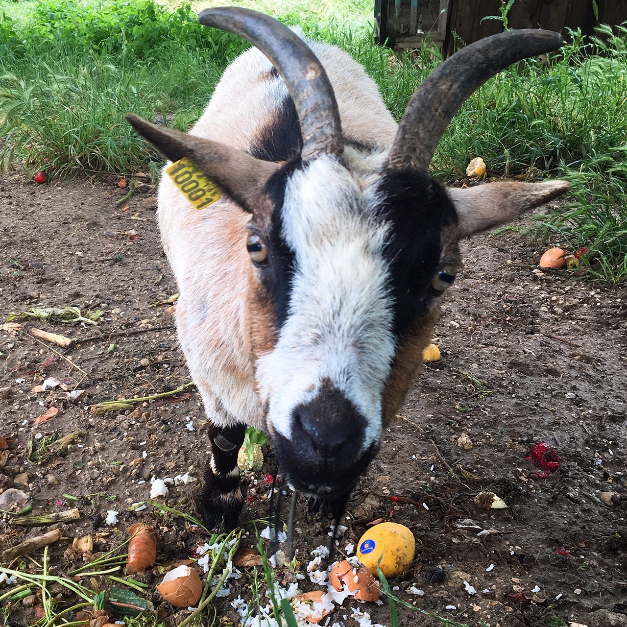 A goat eats food waste in France